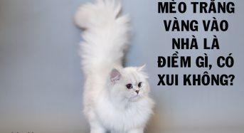 Mèo vàng trắng vào nhà là điềm gì, có xui không?