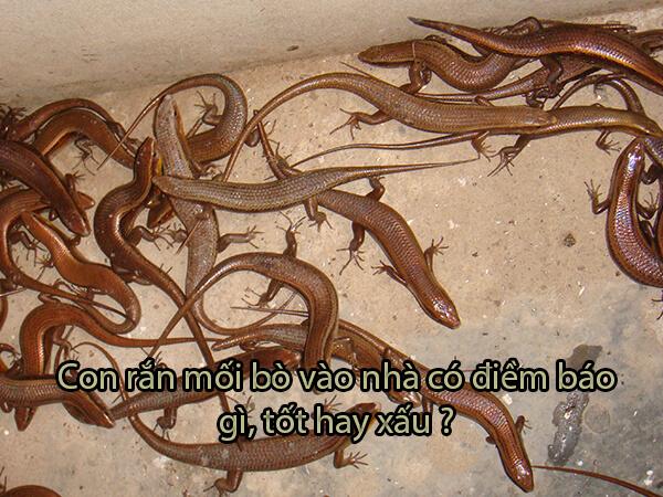Con rắn mối bò vào nhà có điềm báo gì, tốt hay xấu? - GiaiMaBiAn.org