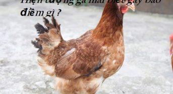 Hiện tượng gà mái biết gáy báo điềm gì ?
