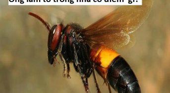 Ong vò vẽ làm tổ trong nhà tốt hay xấu, có điềm báo gì không?