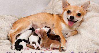 Chó vào nhà đẻ có may mắn không? Hên hay xui?
